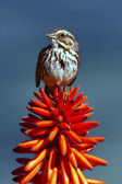 Sparrow on orange aloe — Stock Photo