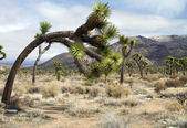 Joshua tree in landscape — Stock fotografie