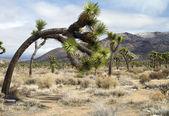 Joshua tree in landschaft — Stockfoto