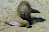 Elephant seal covering in sand — Photo
