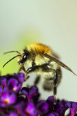 Bumblebee on purple flower — Stock Photo