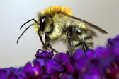 Bumblebee on purple flower — Foto de Stock