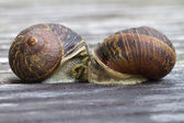 Mating snails — Stock Photo