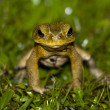 Stock Photo: Frog staring at me