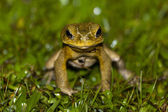 Frog staring at me — Stock Photo
