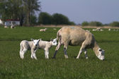 Mother sheep with two babies — Stock Photo