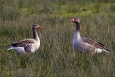 Staring geese — Stock Photo