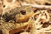 True Toad — Stock Photo