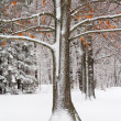 Oak Tree in Fresh Snow — Stock Photo
