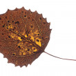 Colorful Fall Leaf Isolated — Stock Photo