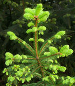 New Growth on Fir Tree — Stock Photo