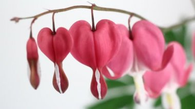 Bleeding Heart Flowers (Lamprocapnos Spectabilis) isolated on white. — Stock Video