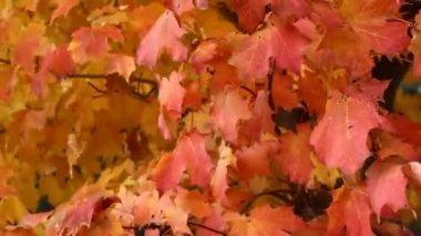 árbol de arce otoñal — Vídeo de stock