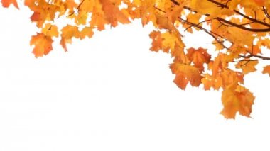 Maple Tree in Fall on White — Stock Video