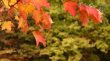 Autumn Maple Tree Leaves Blowing in the Wind — Stock Video