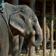 Stock Photo: Elephant at farm in Thailand