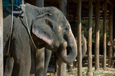 Elephant at the farm in Thailand — Stock Photo