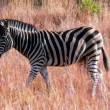 Zebra walking in savanna — Stock Photo