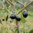 Mellow black olive fruits on branch — Stock Photo
