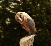Barn owl on fence post near forest — Stock Photo