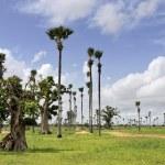 ������, ������: Palmyra palms and baobabs in the savanna near Samba Dia