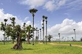 Palmyra palms and baobabs in the savanna near Samba Dia — Stock Photo