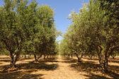 Olive tree orchard near Petrokefali in Crete — Stock Photo