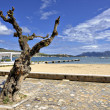 Old olive tree on the promenade of Port de Pollenca - Stock Photo