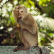 Stock Photo: Wild monkey.