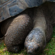 Stock Photo: Galapagos Tortoise