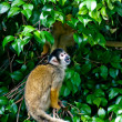 Spidermonkey - Stock Photo