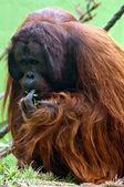 Orangutan eating — Stock Photo