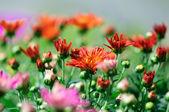 Dolce e bella primavera fiori - crisantemo — Foto Stock