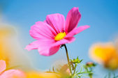 Sweet pink beautiful cosmo flower on blue sky — Stock Photo