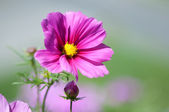 Sweet pink beautiful cosmo flower — Stock Photo