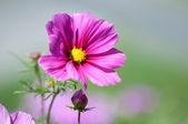 Sweet pink beautiful cosmo flower — Stock Photo