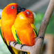 Couple parrot - Stock Photo