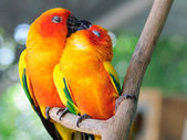 Couple parrot — Stock Photo