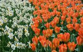Beautiful tulip in spring garden — Stockfoto