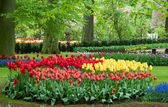 Beautiful tulip in spring garden — Stock Photo