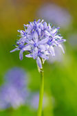 Spring flower HYACINTHOIDES ITALICA — Stock Photo