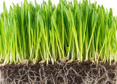 Green young wheat sprout — Stock Photo