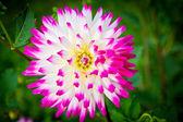 Close up of a dahlia flower background — Stock Photo