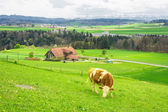 Swiss cows on green meadow  — Stok fotoğraf