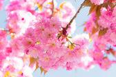 Sakura Cherry blossoms — Stock Photo