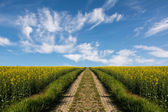 Swiss agriculture - Field of rapeseed with beautiful cloud - plant for green energy — Stock Photo