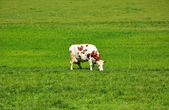 Swiss cows on green Pasture — Stok fotoğraf