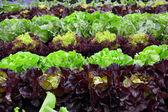 BIO  fresh salad on garden — Stock Photo