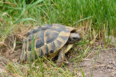 Turtle laying eggs  — Stock Photo
