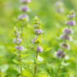 Fresh mint flowers in garden — Stock Photo #49885419